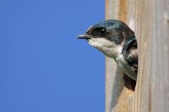 вал ласточки дома птицы Стоковое Изображение RF