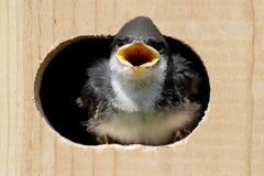 вал ласточки дома птицы Стоковое Изображение