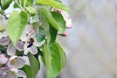 вал весны ветви цветений цветеня яблока вал ветви яблока зацветая Природа, весна, whit Стоковое фото RF