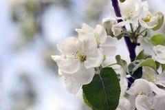 вал весны ветви цветений цветеня яблока вал ветви яблока зацветая Природа, весна, whit Стоковые Фото