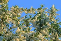 вал весны ветви цветений цветеня яблока Стоковые Изображения RF