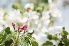 вал весны ветви цветений цветеня яблока Стоковые Изображения