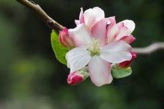 вал весны ветви цветений цветеня яблока Стоковое Изображение