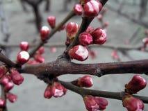 вал весны предпосылки абрикоса цветя Стоковое Изображение