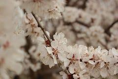 вал весны предпосылки абрикоса цветя Стоковые Фото