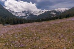 вал весны природы ветви яркий цветя зеленый Крокусы на glade Tatry Стоковые Фото