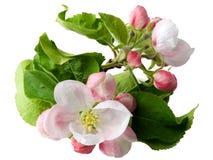 вал ветви яблока зацветая Стоковая Фотография RF