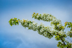 вал ветви яблока зацветая Стоковое Фото