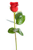 Валентинка: Одиночная красная роза изолированная на белизне стоковые фотографии rf