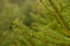 вал ели ветви близкий вверх Стоковая Фотография RF