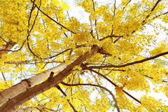 вал золотистого ливня Стоковое Фото