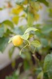 вал лимона присицилийский Стоковые Фото