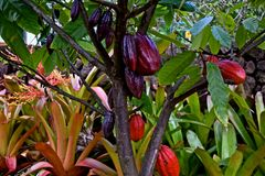 вал какао Стоковая Фотография