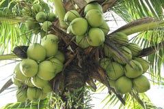 вал кокоса зеленый Стоковые Фото