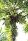 вал кокоса зеленый Стоковое Фото