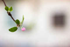вал конца цветения яблока вверх Стоковые Изображения