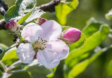 вал конца цветения яблока вверх Стоковая Фотография RF