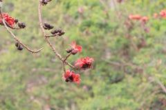 вал красного хлопка цветений silk Стоковое Изображение RF