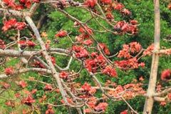 вал красного хлопка цветений silk Стоковое Изображение