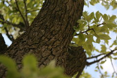 вал красного цвета груш груши зеленого цвета листва предпосылки Стоковое Изображение