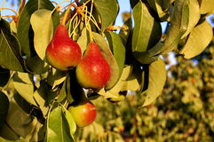 вал красного цвета груш груши зеленого цвета листва предпосылки стоковая фотография rf
