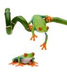 вал красного цвета лягушки глаза Стоковое Изображение