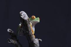 вал красного цвета лягушки глаза Стоковые Изображения
