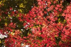 вал красного цвета японского клена Стоковые Фото