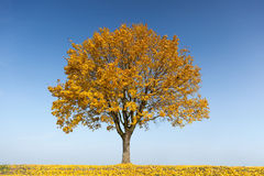 Вал клена в осени Стоковое Изображение RF