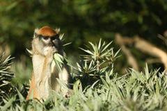 вал обезьяны Стоковое Изображение RF