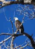 вал облыселого орла Стоковая Фотография RF