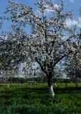 вал предпосылки яблока зацветая Стоковое фото RF