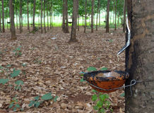вал плантации резиновый Стоковые Изображения RF
