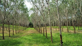 вал плантации резиновый Стоковое фото RF