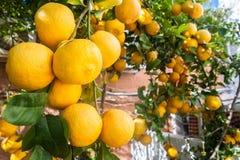 вал сада померанцовый lemons lime Стоковое Изображение