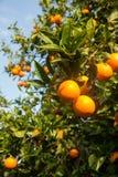 вал сада померанцовый lemons lime Стоковое фото RF
