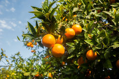 вал сада померанцовый lemons lime Стоковая Фотография RF