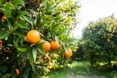 вал сада померанцовый lemons lime Стоковая Фотография