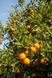 вал сада померанцовый lemons lime Стоковое Фото