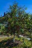 вал сада яблок зрелый Вишни на дереве Стоковое Изображение RF