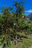 вал сада яблок зрелый Вишни на дереве Стоковая Фотография RF