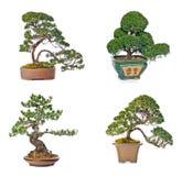 вал сосенки бонзаев вечнозеленый миниатюрный Стоковое Фото