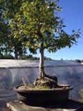 вал сосенки бонзаев вечнозеленый миниатюрный Стоковые Фото