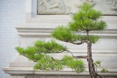 вал сосенки бонзаев вечнозеленый миниатюрный Стоковое Изображение RF