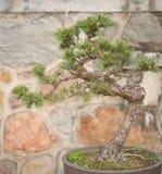 вал сосенки бонзаев вечнозеленый миниатюрный Стоковые Фотографии RF