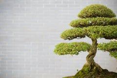 вал сосенки бонзаев вечнозеленый миниатюрный Стоковые Изображения RF