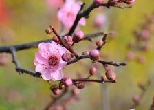 вал сливы цветка конца ветви цветения цветеня абрикоса вверх Стоковое Изображение