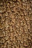 вал текстуры тополя расшивы старый Стоковые Фотографии RF