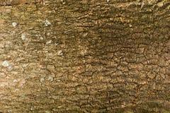 вал текстуры тополя расшивы старый Стоковые Фото