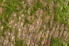 вал текстуры тополя расшивы старый Стоковое Изображение RF